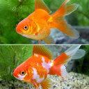 (国産金魚)琉金セット(リュウキンセット)(更紗琉金+琉金 各1匹)