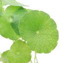 RoomClip商品情報 - (水草)ミニマッシュルーム(水上葉) 鉢植え(無農薬)(3鉢)