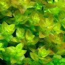 (水草)ウォーターバコパ(水上葉) 鉢植え(無農薬)(3ポット分) 北海道航空便要保温