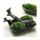 (観葉/苔)私の小さな苔盆栽 〜わびさび益子焼角鉢とコケと流木のセット〜 本州・四国限定