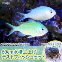 (海水魚 無脊椎)60cm水槽立上げテストフィッシュセット(1セット) 北海道・九州・沖縄航空便要保温