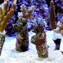 (海水魚 サンゴ)インドネシア産 おまかせミドリイシ プラグ付き(3個) 北海道航空便要保温