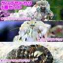 (海水魚 ヤドカリ)沖縄産 サンゴヤドカリ 3種セット(1セット) 北海道・九州航空便要保温