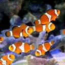 (海水魚 熱帯魚)カクレクマノミ Mサイズ(国産ブリード)(3匹) 北海道・九州航空便要保温