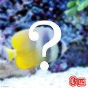 (海水魚)おまかせチョウチョウウオ(3匹) 北海道・九州・沖縄航空便要保温