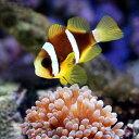 (海水魚)ナミクマノミ ブリード(2匹)+タマイタダキイソギンチャクS−Mサイズ(1匹)