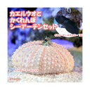(海水魚)イエローテールブレニー+隠れんぼシーアーチン(1セット) 北海道・九州・沖縄航空便要保温