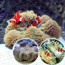 (海水魚 熱帯魚)カクレクマノミ(3匹)+セブ産 ハタゴイソギンチャク SMサイズ 共生セット(1セット)