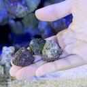 (海水魚 貝 無脊椎)ウラウズガイ Sサイズ コケの掃除(3匹)