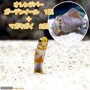 (海水魚)オレンジバーガーデンイール(1匹) + マガキガイ...