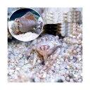 (海水魚)スナホリガニ(3匹) + マガキガイ(2匹)