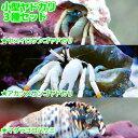 (海水魚 ヤドカリ)沖縄産 小型ヤドカリ3種セット(1セット) 北海道・九州航空便要保温