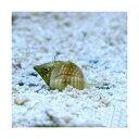 (海水魚 貝 無脊椎)アツムシロガイ 底砂とその他の掃除(5匹)