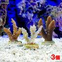 (海水魚 サンゴ)オーストラリア産 おまかせミドリイシ プラグ付き(3個) 北海道航空便要保温 沖縄別途送料