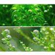 (水草)気泡水草セットC グレートモス(5)+バブルモス(1) 北海道航空便要保温
