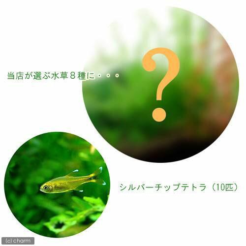 (水草 熱帯魚)おまかせ水草8種セット+シルバーチップテトラ(10匹) 北海道航空便要保温