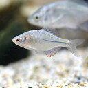 (淡水魚)カゼトゲタナゴ(5匹)