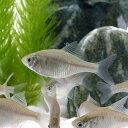 (淡水魚)ニッポンバラタナゴ(12匹)