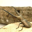 (昆虫)メタリフェルホソアカクワガタ ペレン産 幼虫(初〜2令)(1匹) 北海道・九州航空便要保温