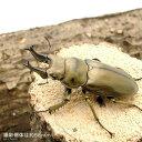 (昆虫)(B品)(メス単品)オウゴンオニクワガタ 西ジャワ ハリムン産 成虫 サイズフリー(1匹)