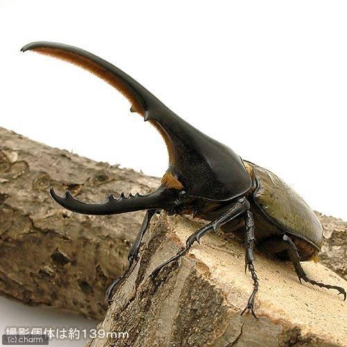 (昆虫)ヘラクレス・ヘラクレス グアドループ産 成虫 オス151mm メス65mm(1ペア) ヘラクレスオオカブトムシ 沖縄別途送料