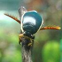 (昆虫)ゲンゴロウ メス(3匹) 沖縄・離島不可 タイム便・航空便不可