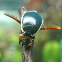 (昆虫)ゲンゴロウ メス(5匹) 沖縄別途送料