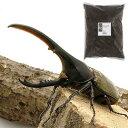 (昆虫)ヘラクレス・ヘラクレス幼虫(1匹) + XLマット カブト用 10リットル(説明書付) 本州・四国限定
