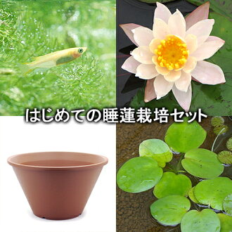 First water lily cultivation set peach Lily + ceramic pot 440 + Japanese + precarious other instructions included Honshu-Shikoku limited