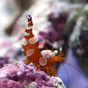 (海水魚 エビ)イソギンチャクモエビ(3匹)