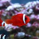 (海水魚)ハマクマノミ(ワイルド)(3匹)