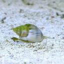 (海水魚 貝 無脊椎)イボヨウバイ 底砂とその他の掃除(2匹...
