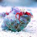 (海水魚 ヤドカリ)スカーレットリーフハーミットクラブ(3匹)