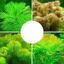 (水草)メダカ・金魚藻 カボンバミックス(3種/計30本) 北海道航空便要保温