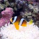 (海水魚)ナミクマノミ(ワイルド)(3匹)