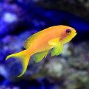 (海水魚)インドキンギョハナダイ メス(3匹)