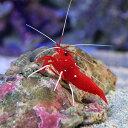 (海水魚 エビ)ホワイトソックスシュリンプ ミックスサイズ(...