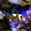 (海水魚)トウアカクマノミ Sサイズ(ワイルド)(3匹)