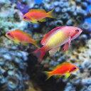 (海水魚)インドキンギョハナダイ ハーレム(オス1+メス3)(1セット)