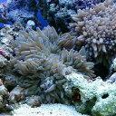 (海水魚)シライトイソギンチャク Sサイズ(2匹)無脊椎動物...