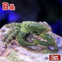 (海水魚 カニ)(B品)エメラルドグリーンクラブ(3匹) 北海道・九州・沖縄航空便要保温