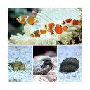(海水魚)カクレクマノミ(2匹)とお掃除屋さんセット・A 1セット