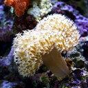 (海水魚 サンゴ)沖縄産 ウミキノコ ロングポリプ Sサイズ(3個) 北海道・九州航空便要保温