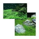 (水草 熱帯魚)前景 水上葉(無農薬)2種セット グロッソスティグマ(1パック)+ヘアーグラス ショート(2束分) 北海道航空便要保温