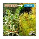 (水草)ロタラsp.カンボジア産(水上葉)(無農薬)(10本)