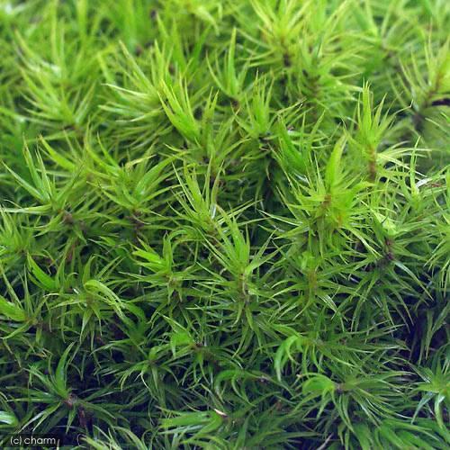 (観葉植物)苔 半トレー シッポゴケ トレー1枚分 36×27cm
