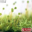 (観葉植物)苔 タマゴケ 4パック分