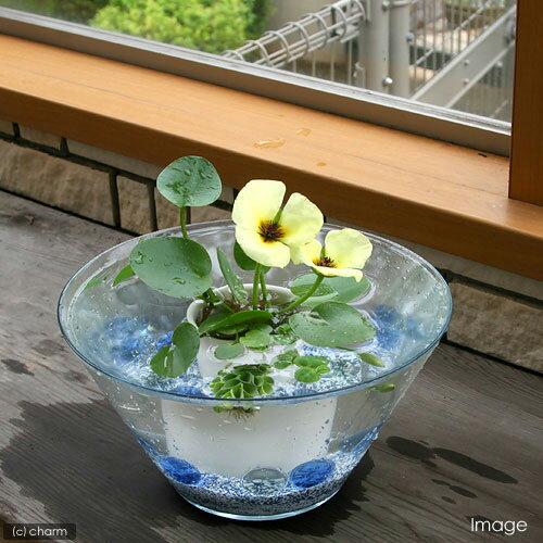 (ビオトープ/水辺植物) 窓辺の虞美人草(ぐびじんそう) ウォーターポピーのセット 本州・…...:chanet:10100124
