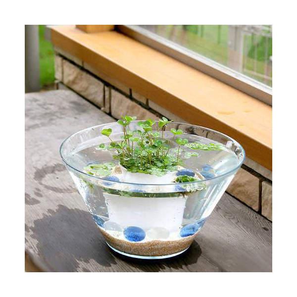 (ビオトープ/水辺植物) 窓辺の幸運 quattuor ウォータークローバームチカのセット…...:chanet:10100125