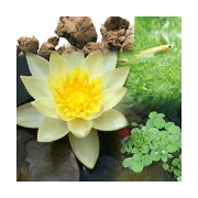 (ビオトープ/睡蓮)ビオ植物とメダカセット 姫睡蓮(ヒメスイレン) 黄 鉢なしセット本州・四国限定